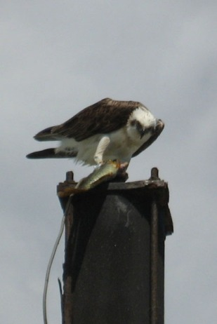 Osprey at Fingal Heads Sand Pumping Jetty